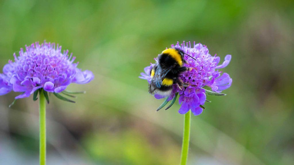 bumblebee detection