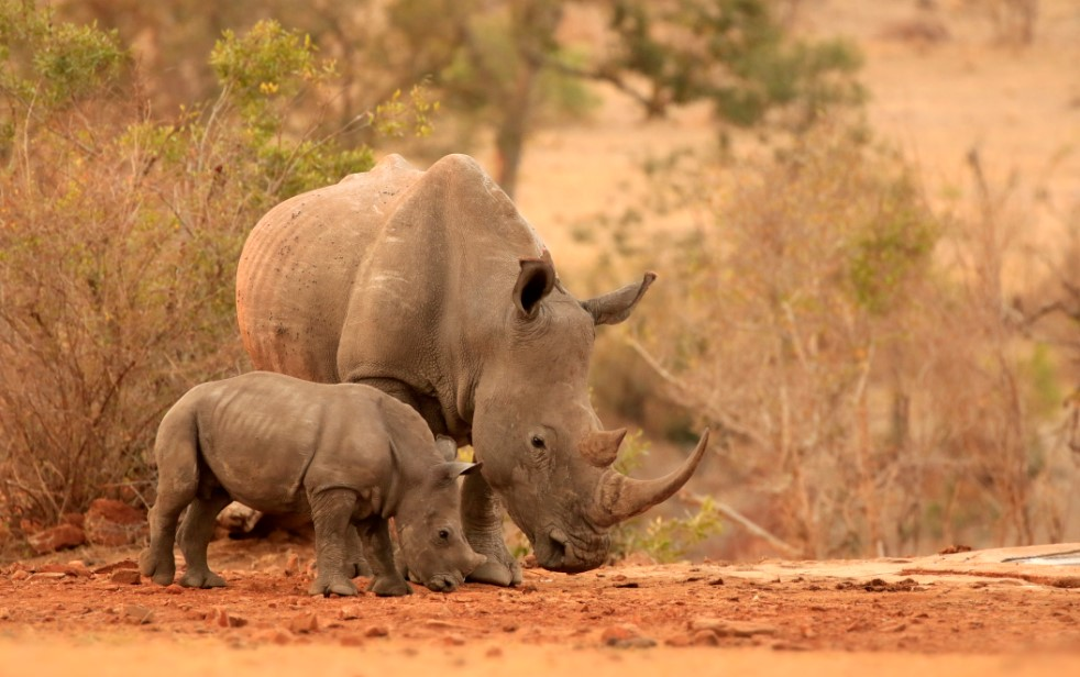endangered rhinos in africa